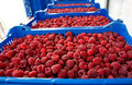 Time of raspberries beautiful red and healthy organically grown rubus idaeus in the cribs prepared for transportation image is Stock Images