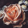 The time spent caring for a rose makes the rose important. Royalty Free Stock Photo