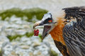 Bearded Vulture eating