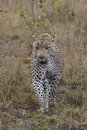 Time to hunt a big male african leopard is on the for food in south africa Stock Photography