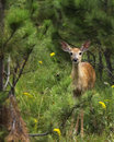Timid fawn a young whitetail Stock Image