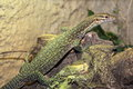 Timor monitor Royalty Free Stock Photo