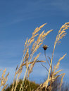 Timothy grass Royalty Free Stock Images