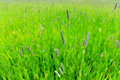 Timothy grass in lovely green field in summer Stock Image