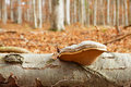 Tinder fungus and autumn forest blurred in background Royalty Free Stock Image