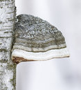 Tinder Fungus And Birch