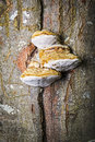 Tinder fungus at the tree in a forest in autumn Stock Images
