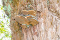 Tinder fungus tree fungus the lat fomes fomentarius belongs to the family of stielporlings lat polyporus he was formerly used for Royalty Free Stock Photo