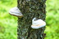 Tinder fungus on tree in nature landscape Stock Image