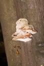 Tinder fungus on tree trunk closeup of Stock Photos