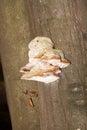 Tinder fungus on tree trunk closeup of Stock Image