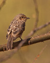 The tiny African Dusky Flycatcher Stock Image