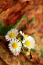Tiny daily aster flower and fragile novi belgii Stock Photography
