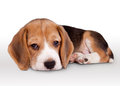 Tiny beagle puppy wit pitiful eyes lying Royalty Free Stock Photo