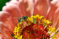 Tiny Bee on a Flower Stock Photography