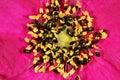 Tiny black beetles feeding from pollen. Royalty Free Stock Photo