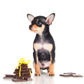 Tiny black puppy with chocolate pieces little Royalty Free Stock Images