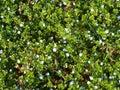 Carpet of tiny blue flowers speedwells Royalty Free Stock Photo