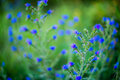 Tiny blue forest flowers Royalty Free Stock Photo