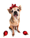 A tiny chihuahua with a red bow and christmas ornaments cute on an isolated white background Royalty Free Stock Photo