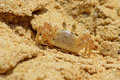 Tiny crab on sandy beach closeup Royalty Free Stock Images