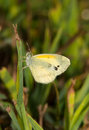 Tiny dainty sulphur butterfly nathalis iole resting on a blade of grass in sunshine Royalty Free Stock Photo