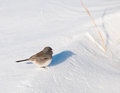 Tiny Dark-Eyed Junco sitting on a snow drift Royalty Free Stock Photos