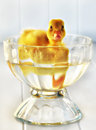 Tiny duckling in a tiny pond going for little swim parfait dish Stock Photography