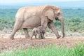 Tiny elephant calf walking next to its mother Royalty Free Stock Photo