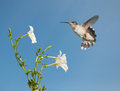 Tiny female Hummingbird getting ready to feed Stock Photos
