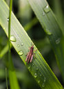 Tiny grasshopper macro from above view of small on grass with dew drops Stock Image