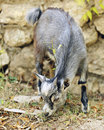 Tiny gray goat an adorable juvenile billy munching on grass by a rock wall shallow depth of field with focus on the s eye Stock Images