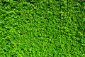 Tiny green leaves texture background Stock Photography