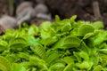 Tiny Green Venus Flytrap Clump...