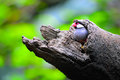A tiny java sparrow perched on a tree branch with colorful sprint foliage in the background Stock Photo