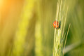 Tiny ladybird resting on wheat ear with sun shining Royalty Free Stock Photography