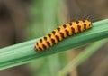 Tiny orange caterpillar with black stripes Royalty Free Stock Photo