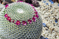 Tiny pink beautiful flowers on a round prickly cactus