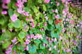 tiny pink ivy flower wall. nature house wall from pink ivy flower. image for background Royalty Free Stock Photo
