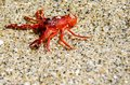 Tiny red tuna crab in La Jolla San Diego. These tiny crustaceans wash up on Southern California shores during a El Niño event Royalty Free Stock Photo