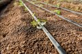 stock image of  Young plants in soil grow and wind their leaves up near the irrigation drip lines