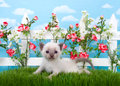 Tiny siamese kitten in garden on grass Royalty Free Stock Photo