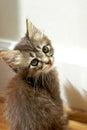 Tiny Tabby Kitten Gazing At Ca...