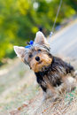Tiny terrier sitting on the ground Royalty Free Stock Image