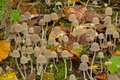 Tiny white mushrooms and autumn leafs on the forest floor Royalty Free Stock Photo