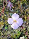 Tiny wild flower holds a big pure beauty. Royalty Free Stock Photo