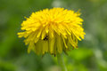 Tipster and dandelions look beautiful together Royalty Free Stock Photo