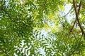 Tipu, Tipuana Tipu, Garden Tree