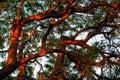 Tipuana Tipu Tree At Sunset