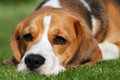 Tired beagle dog laying on grass down lawn Royalty Free Stock Images